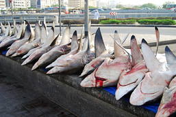 Bloody shark carcasses aligned next to each other on a dock.