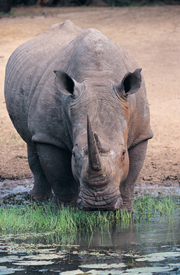Facing the camera, a White Rhinoceros holds its head down to drink on the shores of a stream.