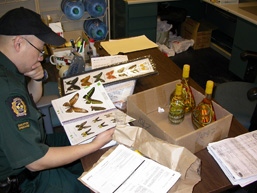 A side view of a Customs officer seated at his desk examining naturalized butterflies.
