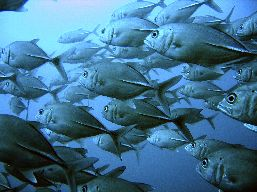 Underwater side view of a school of Tunas.