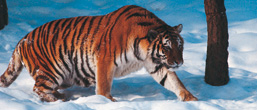 A side view of an Amur Tiger walking in the snow.