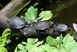 Three Red-eared Sliders rest on a log, one behind the other.