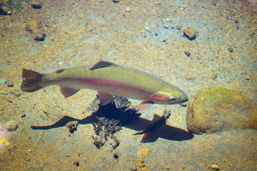 View from above of a Rainbow Trout in shallow waters.