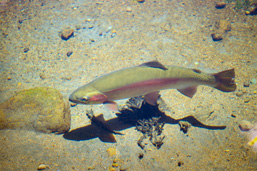 A Rainbow Trout in shallow waters viewed from above.
