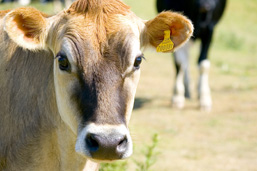 Close-up of the head of a cow facing the camera; another cow moves closer in the background.