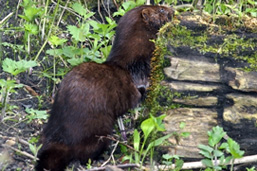 A side view of an American Mink on a forest floor.